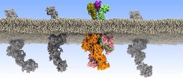 Comunicaciones erróneas en la membrana de las células madre sanguíneas.