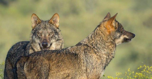 Lobos de la película Barbacana, de Arturo Menor