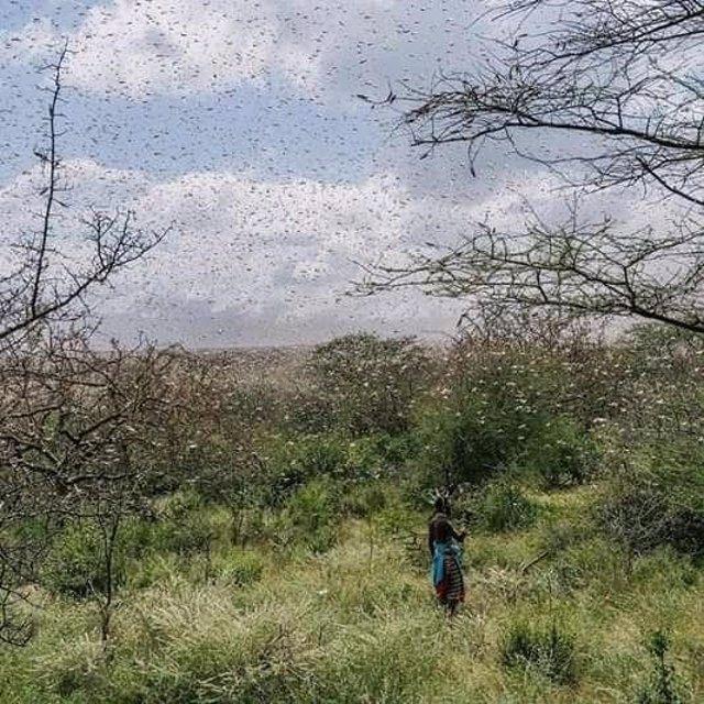 Plaga de langostas del desierto en Kenia