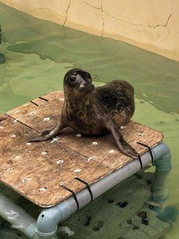 Lobo marino Silbur, encontrado en el puerto de Burela (Lugo) el 21 de enero.