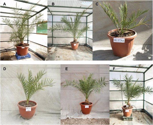 Resucitan palmeras datileras con semillas de hace 2.000 años
