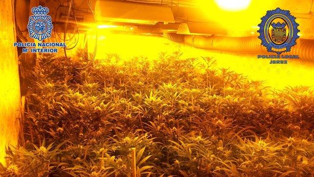 Cádiz.-Sucesos.- Detenidos los responsables de dos plantaciones de marihuana ins
