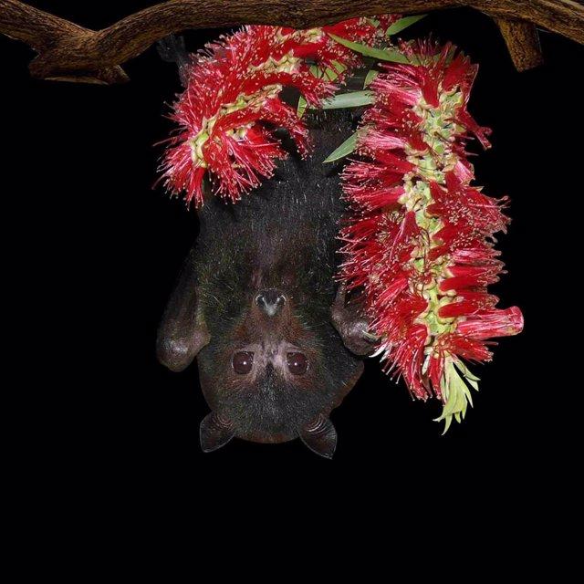 El zorro volador negro australiano es un reservorio del virus de Hendra, que puede ser transmitido a los caballos y a veces a los humanos.