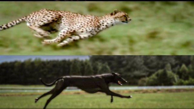 Dos de los animales terrestres más rápidos se someten a un test de velocidad