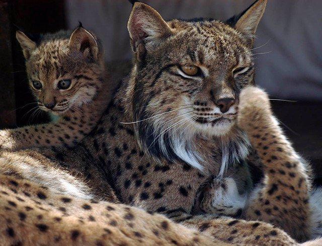 La Junta presenta a la UE el proyecto 'Lynx Connect' para recatalogar el lince d