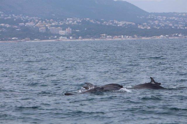 Delfines mulares frente a la costa de Dénia.
