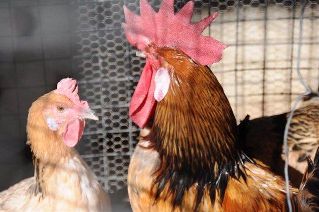 Una gallina y un gallo.