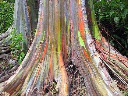 La magia de estos árboles hace que, cuando pierden su corteza, aparece un arcoíris