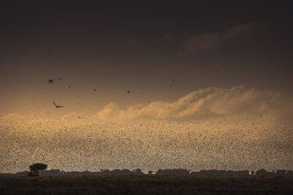 Etiopía.- Etiopía lleva a cabo fumigaciones aéreas para intentar contener la plaga de langosta del desierto