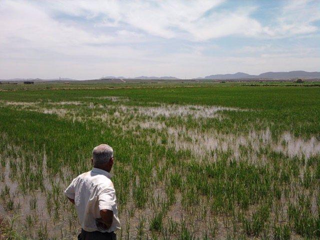 Campo de arroz en Extremadura