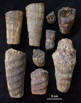 Cefalópodo fósil hallado en el Parque Nacional de Cabañeros.