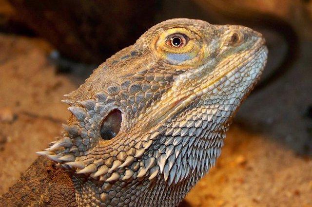 Una misteriosa región cerebral de los mamíferos también existe en reptiles