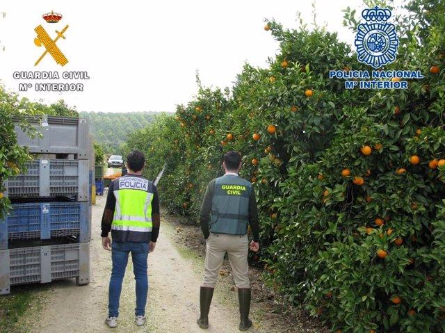 Agentes de la Policía y de la Guardia Civil en la huerta de naranjos inspeccionada en Palma del Río (Córdoba).