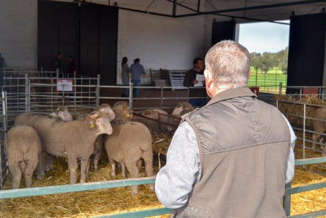 Subasta de ganado ovino en La Cocosa