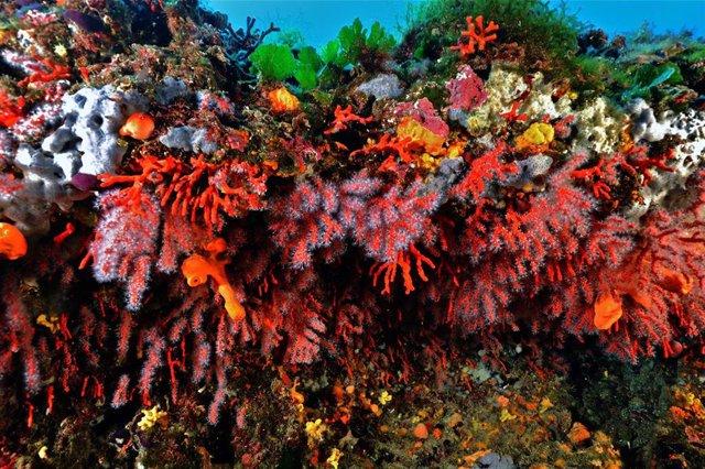 Coral rojo en el Mediterráneo