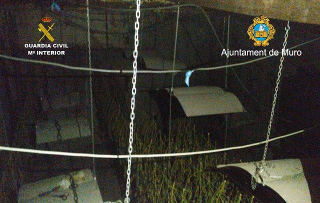 Guardia Civil y Policía Local de Muro han detenido a dos personas en el desmantelamiento de una plantación de marihuana en la localidad.