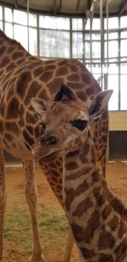 Cría de jirafa de Rothschild, nacida en el Zoo de Barcelona.