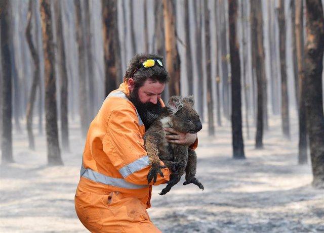 Rescate de un koala en una zona incendiada en el sur de Australia