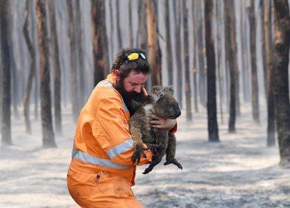 Australia.- Los incendios forestales dejan más cerca de la extinción a la población de koalas en el sureste de Australia