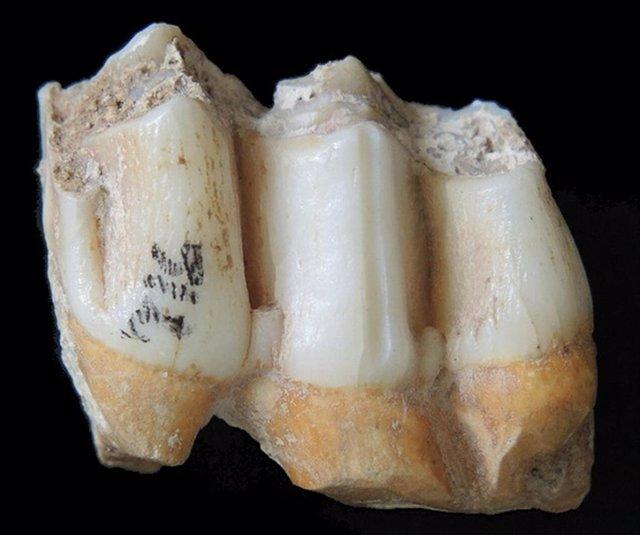 Dientes fósiles de un venado de campo (Rucervus eldii) del conjunto fósil de la cueva Tam Ham Marklot.