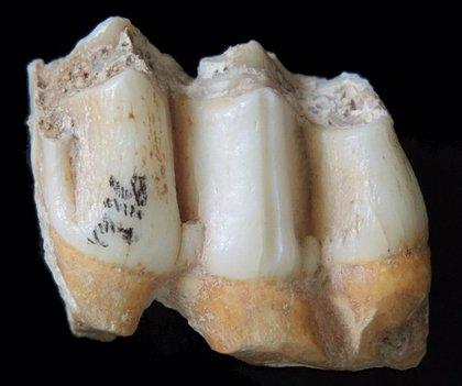 El esmalte dental permite reconstruir la dieta mamíferos prehistóricos