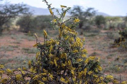 Sudán del Sur.- La plaga de langostas del desierto llega a Sudán del Sur