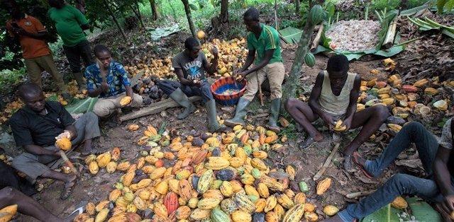 Productores de cacao