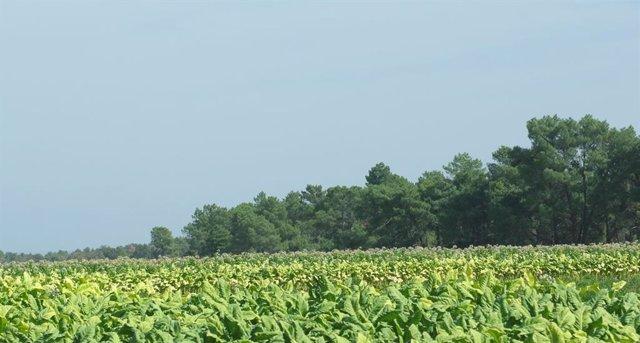 Cultivo de tabaco en el norte de Cáceres
