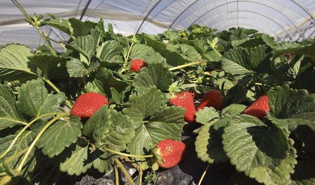 Cultivo de fresas en Huelva bajo invernadero.