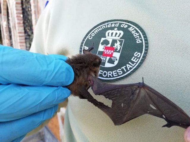 Agentes Forestales de la Comunidad de Madrid rescatan un murciélago herido.