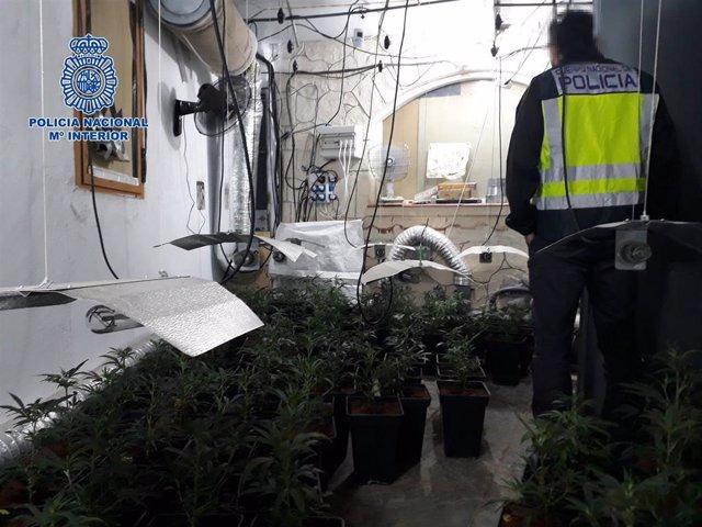 La Policía Nacional desmantela un cultivo ilegal de marihuana que estaba oculto en una vivienda de Velada
