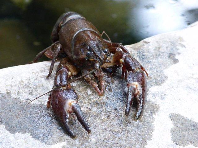 El cangrejo de río ha sido una de las especies que han aparecido en el interior de las heces fósiles.