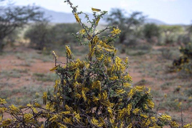 Langostas en el noreste de Kenia