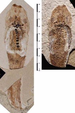 De arriba a abajo, cara ventral y dorsal del fósil del género Pelobates
