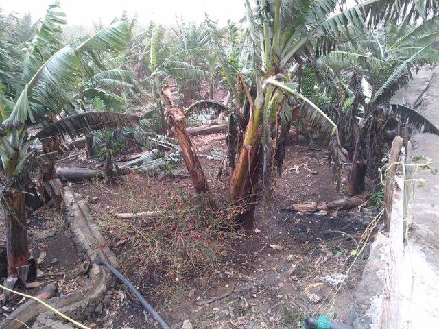 Plantación agrícola dañada tras el temporal de viento y calima