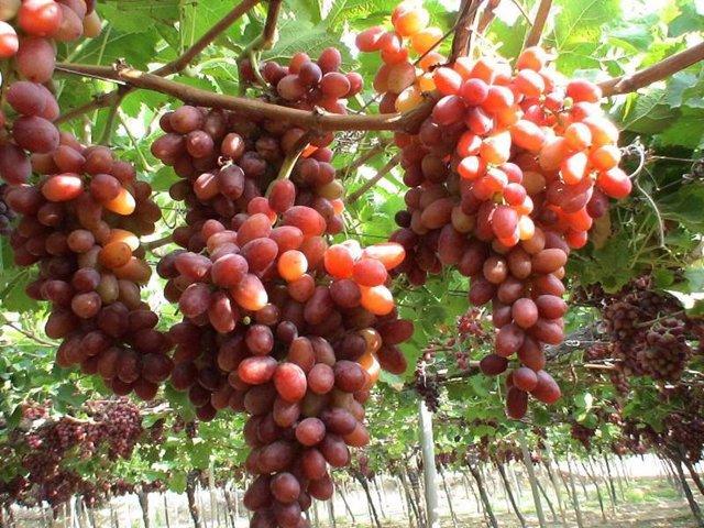 Economía/Agro.- Agroseguro abona 18,5 millones a asegurados de uva de mesa por l