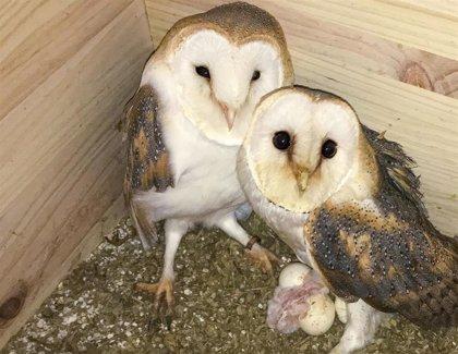 Nacen los primeros polluelos de lechuza en la Estación Ambiental Madrevieja
