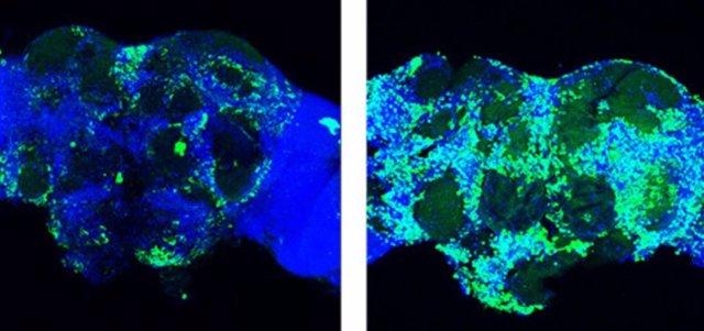 A la izquierda, imagen del cerebro de una mosca (Drosophila) en el que la molécula identificada provoca la pérdida de sinapsis. A la derecha, cuando se altera la molécula para que el gen pueda expresarse, el número de sinapsis se mantiene.