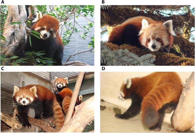 (A Y C) El Panda Rojo Chino. (B Y D) El Panda Rojo Del Himalaya.