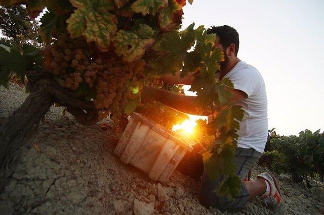 La vendimia y el cuidado manual de los viñedos