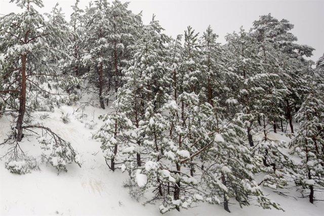 Pins coberts de neu.