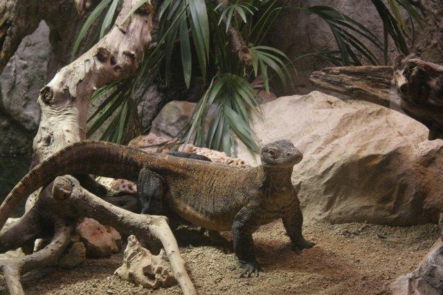 El dragó de Komodo en una imatge d'arxiu.