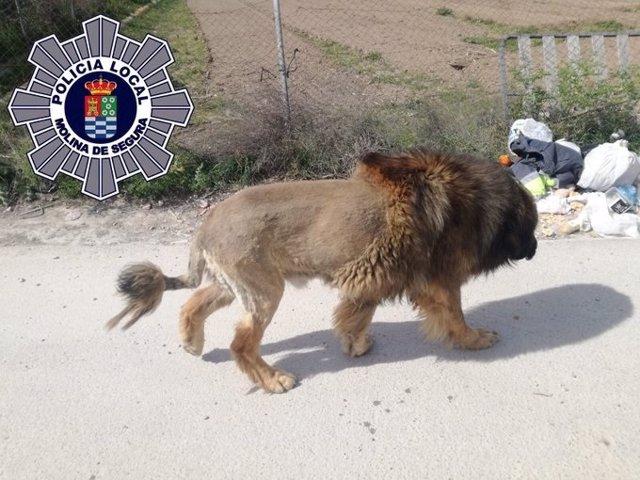 El perro con apariencia de león