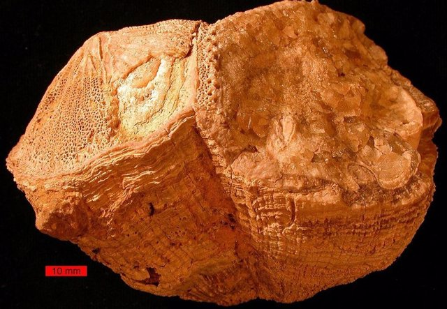 Fósiles bivalvos rudistas (Vaccinitas) de las montañas Al-Hajar, Emiratos Árabes Unidos.