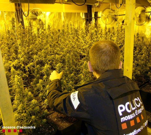 Pla mitja d'un agents dels Mossos intervenint les plantes de marihuana que han trobat en una nau industrial de l'Ametlla de Mar. Imatge del 6 de març del 2020 (horitzontal)