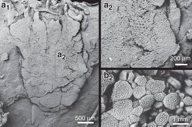 Más misterio sobre Yanjiahella, que no es ancestro de los erizos de mar