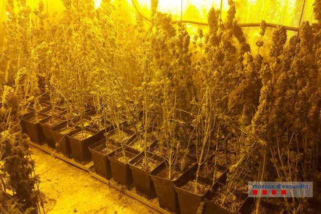 Pla general d'una plantació de marihuana en un garatge de Porqueres el 4 de març de 2020 (Horitzontal)