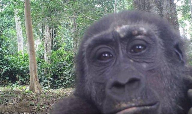 Fotografía tomada por una cámara trampa de un gorila occidental de tierras bajas en el Parque Nacional Odzala-Kokoua, República del Congo