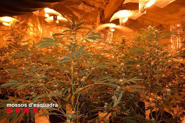 Una de les plantacions a Lleida requisades pels Mossos d'Esquadra