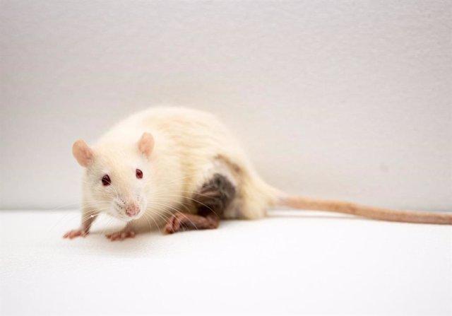 Ratón de laboratorio.